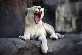 And the white lion roars!
