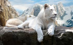 white lion in repose